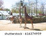 Hungry Giraffes