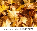 Texture Of Autumn Maple Leaves...
