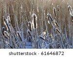 Frozen Cattail In Winter Time