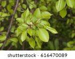 Small photo of Ulmus Americana, American Elm Leaves Close Up