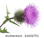 Color Photo Of Thistle On A...