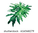 tropical leaf isolated on white ... | Shutterstock . vector #616568279