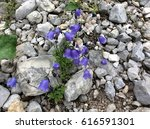 Small photo of Alps Flowers