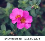 Pink Moss Rose Flowers Just...