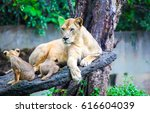 Lioness With Lion Cubs On Tree