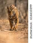 tiger in a beautiful light in... | Shutterstock . vector #616610399