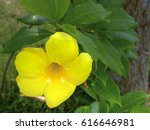 Small photo of Allamanda schottii is a shrub of genus Allamanda in the family Apocynaceae