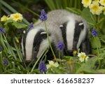 badger cubs | Shutterstock . vector #616658237