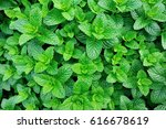 green mint plant in growth at... | Shutterstock . vector #616678619