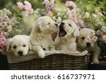 Stock photo little golden retriever puppies in basket in summer pink rose garden outdoor 616737971