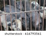 pigs in an iron cage | Shutterstock . vector #616793561