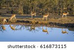 common impala in kruger... | Shutterstock . vector #616873115