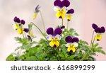 Viola Tricolor Nice Pansies ...