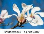 Blooming Magnolia Tree Against...