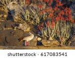 Egyptian Goose In Kruger...