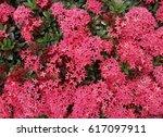 red ixora flowers background | Shutterstock . vector #617097911