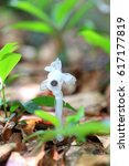 ghost plant or indian pipe ... | Shutterstock . vector #617177819