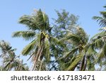 Small photo of coconut palm go against the wind