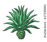 cactus blue agave. vintage... | Shutterstock .eps vector #617230001