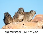 Some Cape Hyrax Basking In The...