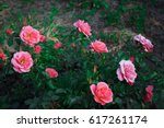 Stock photo blooming in the garden rose 617261174