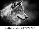 scary dark gray wolf   canis... | Shutterstock . vector #617299247