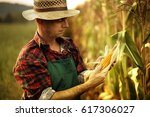 Farmer Inspecting Corn Cob At...