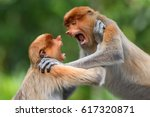 Small photo of Young Kahau monkeys fighting in borneo rain forest