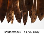 Brown Acacia Seedpods Hanging...