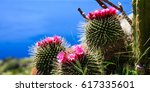 Blooming Cactus On Blue Sea An...