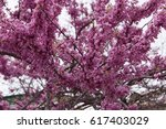 Small photo of Cercis siliquastrum, commonly known as the Judas tree or Judas-tree, Order: Fabales Family: Fabaceae Genus: Cercis Species: C. siliquastrum Synonyms Siliquastrum orbicularis Moench