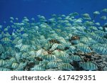 Small photo of School of tropical fish underwater Pacific ocean, convict surgeonfish Acanthurus triostegus, Tuamotu, Rangiroa, French Polynesia