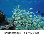 Small photo of School of fish, convict surgeonfish, Acanthurus triostegus, Pacific ocean, Tuamotu, Rangiroa, French Polynesia
