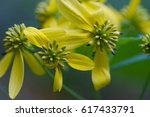 Small photo of Wildflower Yellow Wingstem blue