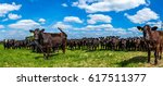 Angus Cattle In A Pasture In...