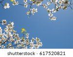 Dogwood tree under blue sky.