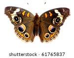 Buckeye Butterfly Isolated On...