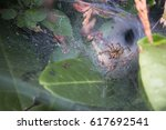 Small photo of Funnel Web Spider Agelena labytinthica