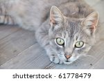 Gray Cat On The Wooden Deck