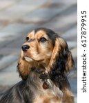 sable coloured female english...   Shutterstock . vector #617879915