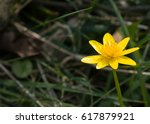 yellow lesser celandine flower...   Shutterstock . vector #617879921