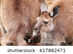 a portrait of a kangaroos on... | Shutterstock . vector #617882471