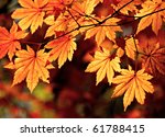 Autumnal Colored Leaves  Maple