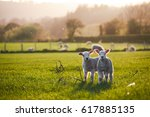spring lambs in countryside in...
