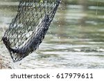 white sea bass in the fishing... | Shutterstock . vector #617979611