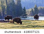 Wild American Bison Waking Up...