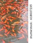 Red Carp Fish. Koi Carp Fish I...