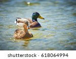 Mallard Ducks Swimming In Water