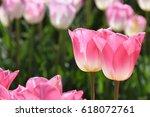 Beautiful Pink Tulips In...