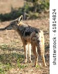 black backed jackal with... | Shutterstock . vector #61814824